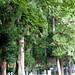 The Giant Trees of Tochigi: #81 The Giant Cryptomeria of Kentoku Temple