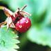 Day 194/365 - Baby Strawberry