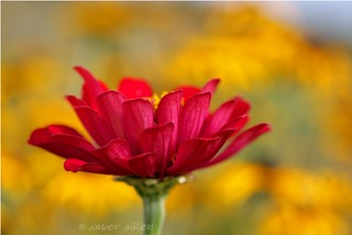 Red Zinnia | by amberaikenphotography