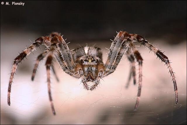 Barn Spider Araneus Cavaticus On Web Flickr Photo