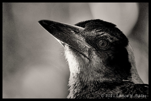 20110831 Magpie closeup in B&W | by Degilbo on flickr