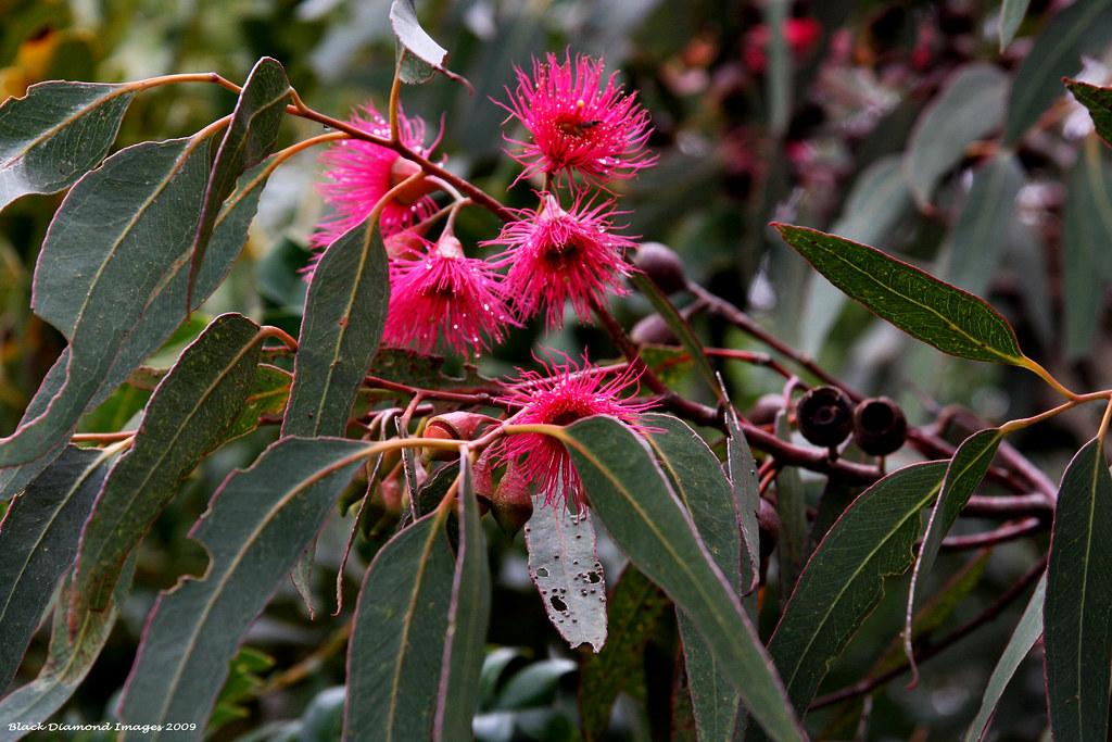 Eucalyptus leucoxylon rosea yellow gum blue gum whit flickr pink eucalyptus leucoxylon rosea yellow gum blue gum white ironbark pink mightylinksfo