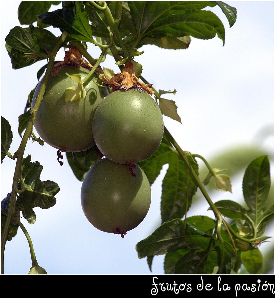 Fruto de la pasi n fruto de la pasi n manuel m v for Pasion com m