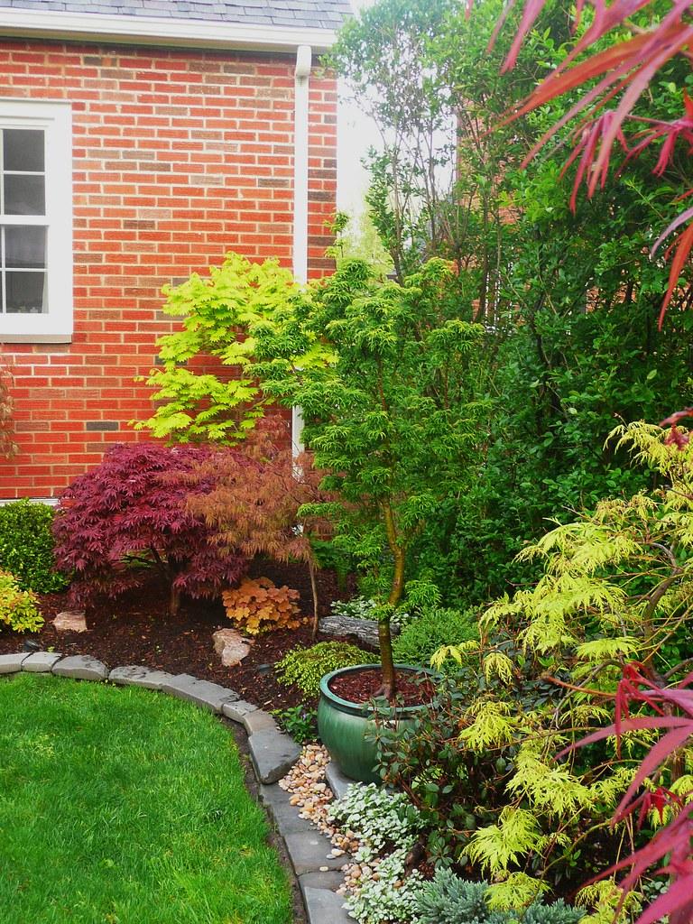 acer palmatum 39 shaina 39 acer shirasawanum 39 aureum 39 acer flickr. Black Bedroom Furniture Sets. Home Design Ideas