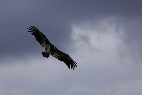 White-headed vulture | by tommyajohansson