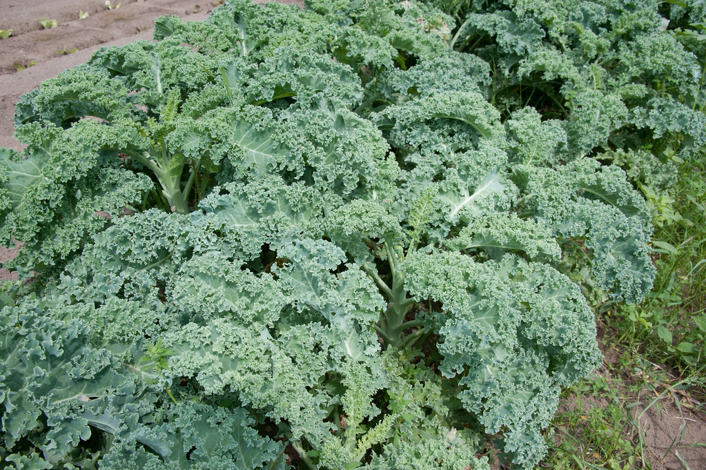 kandungan nutrisi kale