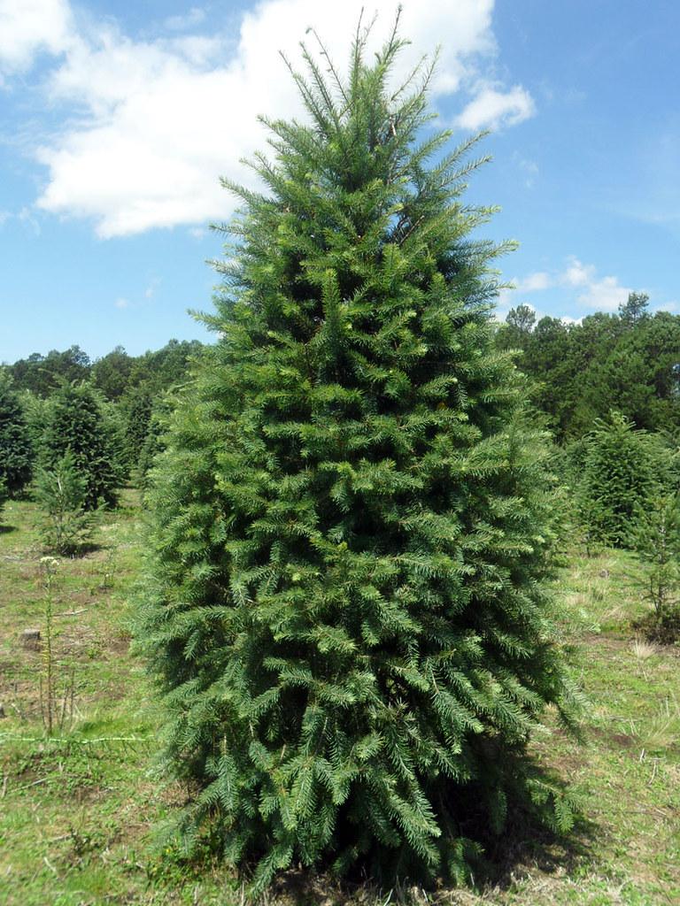 cmo cuidar de su rbol de navidad natural cultivado y fresco arboles de navidad natural agros
