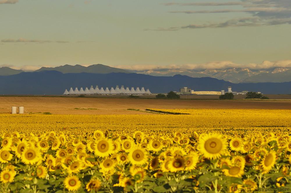 Denver International Airport Sunflower Field 08 15 2011