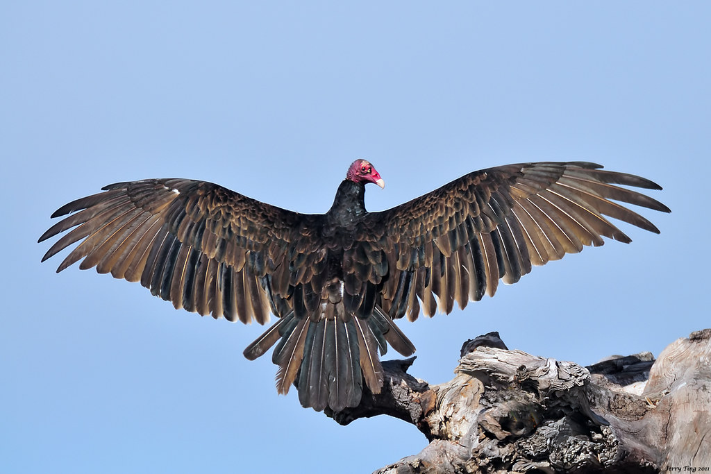 Turkey Vulture - the 'Horaltic Pose' | San Leandro Marina ...