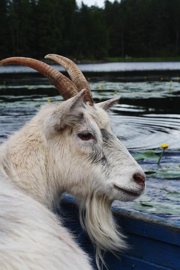 a goat on a boat vihma flickr
