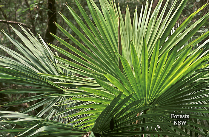 Cabbage Tree Palm   by