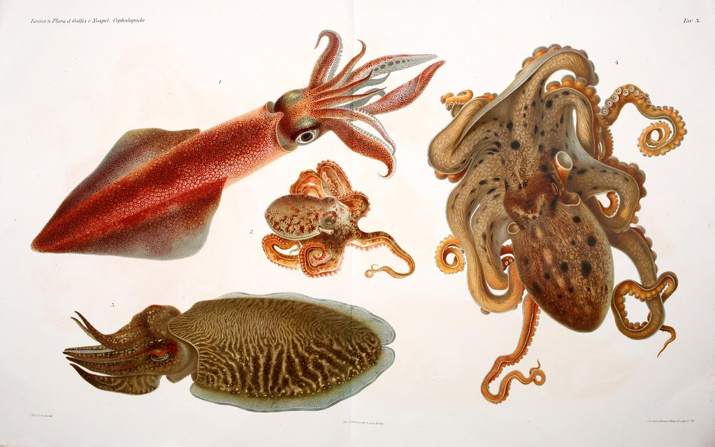 flamboyant cuttlefish drawing