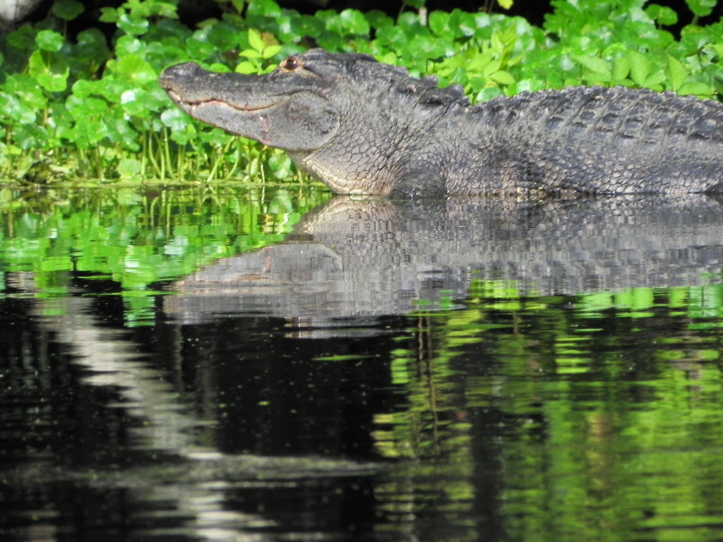 How Many Alligators Get Hit By Cars In Florida