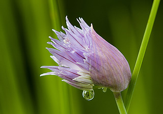 Chives 3 | by Alenmurr