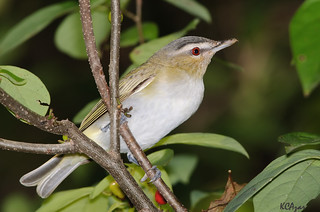 Red-eyed Vireo | by Kelly Colgan Azar