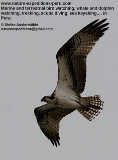 Osprey Birding Peru 05 | by Nature Expeditions 05