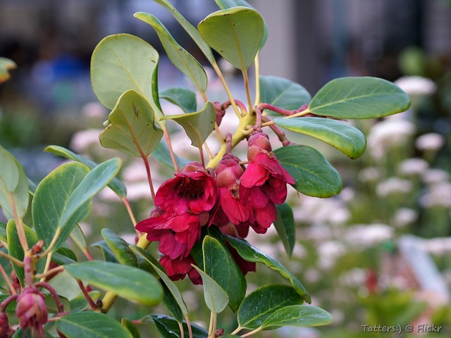 Hong Kong Rose - Rhodoleia championii | Not the best photo ...