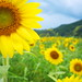 seeking for the sun (Sayou-tyou, Hyogo)