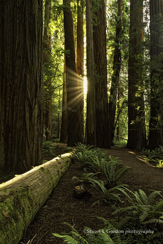 Light In The Forest, RedwoodNP_0573_WM | by chasingthelight10