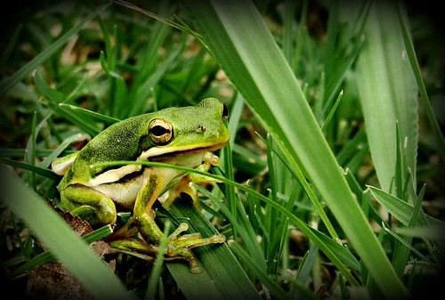 tree frog in the grass | by melnik55...changed meds, some better! :D