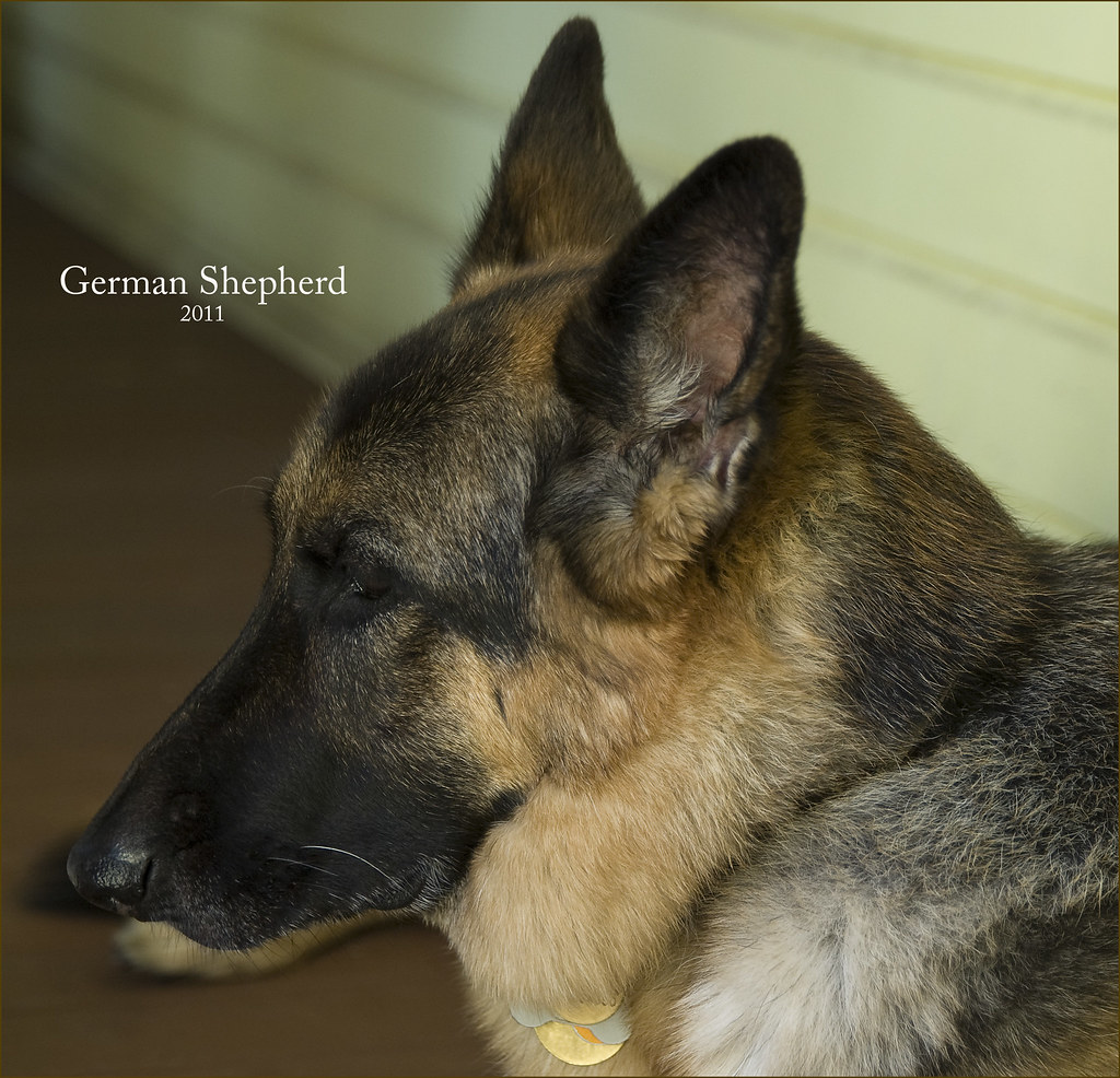 German Shepherd -- 201...