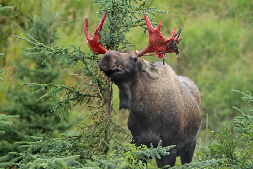 All Sizes Small Bull Moose Scraping Off Velvet Flickr Photo