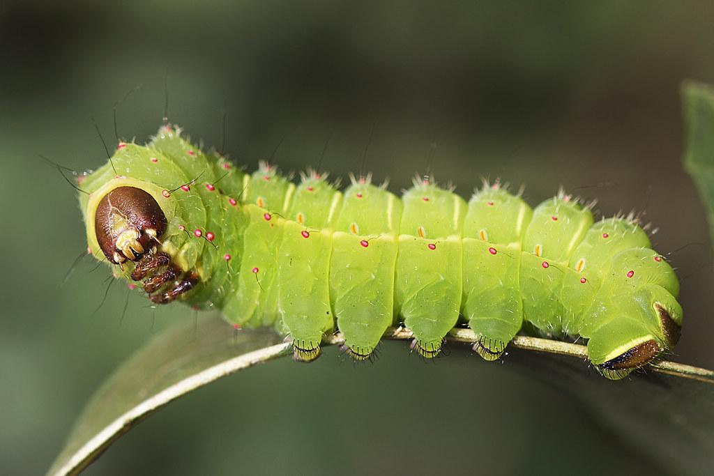polyphemus-moth-cocoon