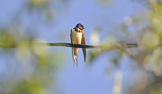 Barn Swallow (Hirundo rustica) | by warriorwoman531