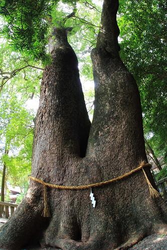 伊弉諾神宮 夫婦大楠 淡路島 2011