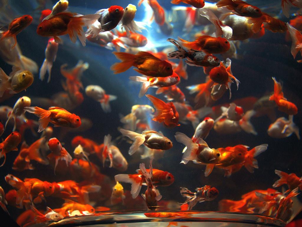 Bulky Goldfish Bowl Art Aquarium Kind Of A Zen Styled