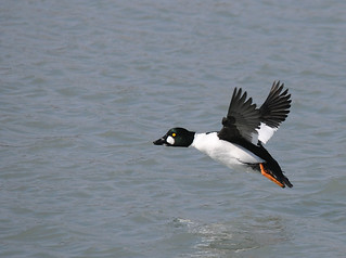 2011 Common Goldeneye In Flight 7 | by DrLensCap
