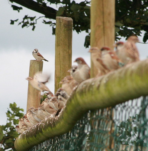 "Wheelock Farm_Sparrow ""The Line-Up"" 
