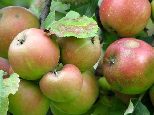 Sheet Pan Apple Cake