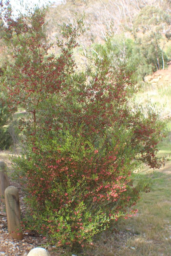 Dodonaea viscosa subsp. cuneata (Wedge-leaf Hop-Bush) | Flickr