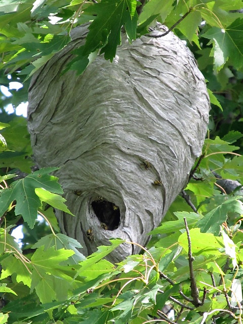 paper wasp nests Camping/festival roots and shoots bundle - solar light flying insect trap and paper decoy wasp nest - 2 items supplied (dispatched from uk.