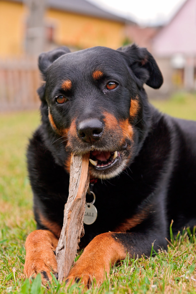 Rottweiler Weight Chart: Kali posing and gnawing | This is Kali the female dog of myu2026 | Flickr,Chart