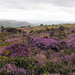 The Heather on The Stiperstones