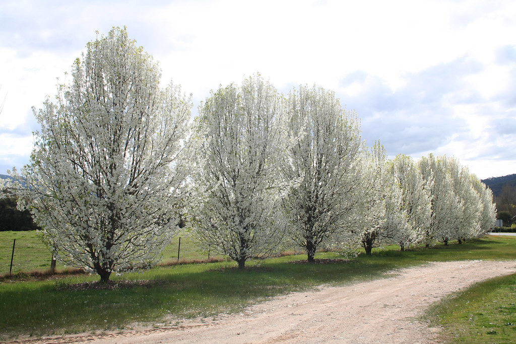 Permalink to About Pear Trees