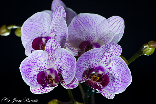 Phaleaneopsis Orchid | by Jerry_Tn