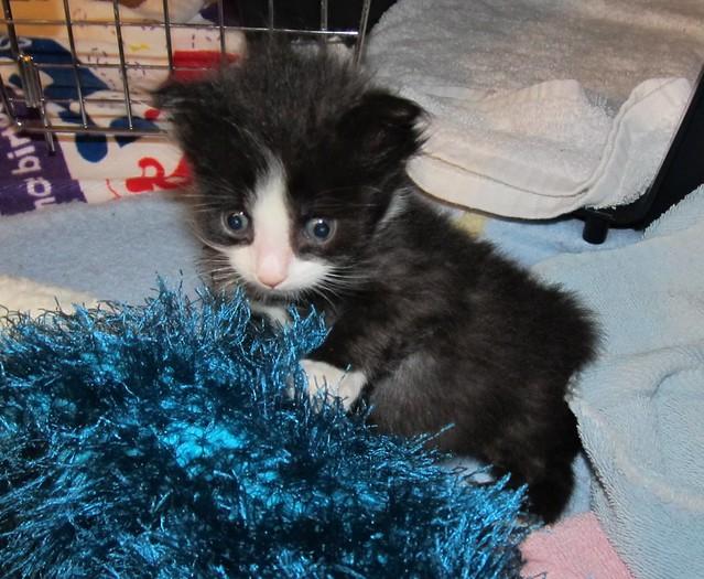 Persian Cat Rescue Tacoma