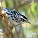 Black-and-White Warbler 2-20110914