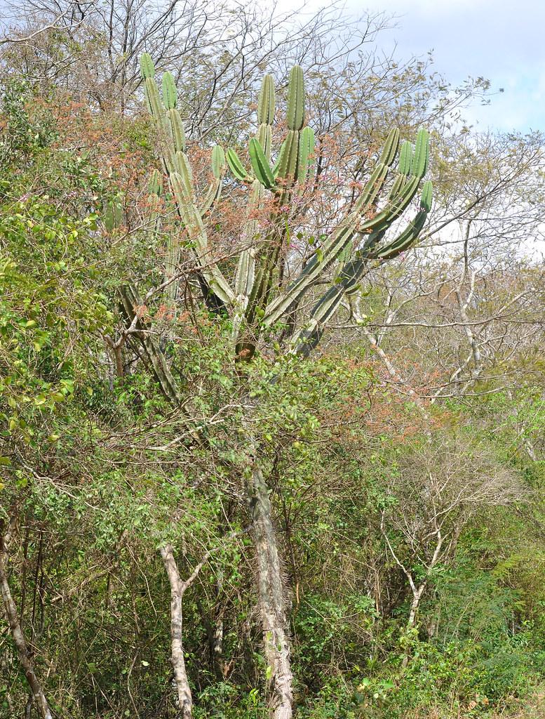Giant Cactus In The Bosque Seco Botanical Garden Of Santa Flickr - Cactus-seco