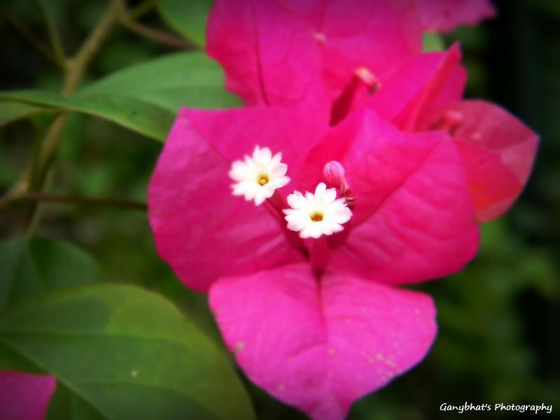 Pink Paper Like Flower Ganybhat Flickr