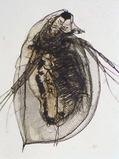 Daphnia magna | by Oregon State University
