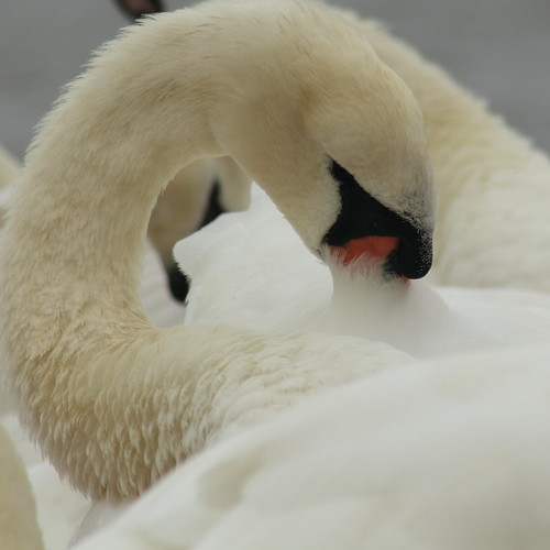 swan preening its feathers | by Sassydel