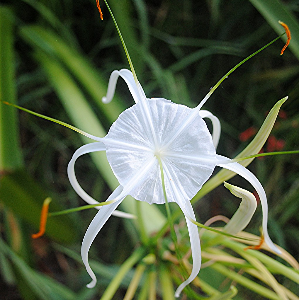 White beach spider lily is shaped like a parachute with da flickr white beach spider lily is shaped like a parachute with dark orange stamens by jungle izmirmasajfo