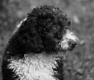 Dreaming Maradona! (Spanish Water Dog) | by mara zocolotte