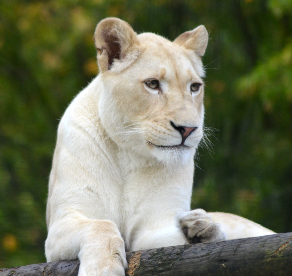 Izulu the white lioness (Daughter of Kya) | Dawn | Flickr