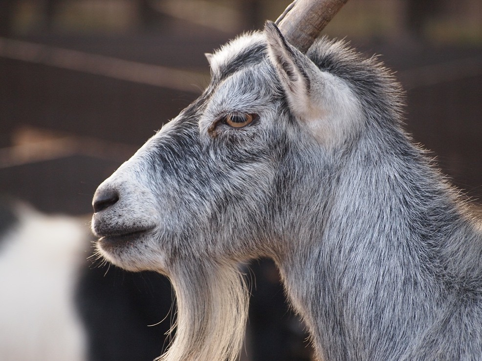 Year Of The Goat Stock Photos and Images