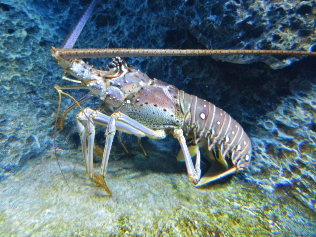 Spiny Lobster | These lobsters are common in the Gulf of Mex… | Flickr